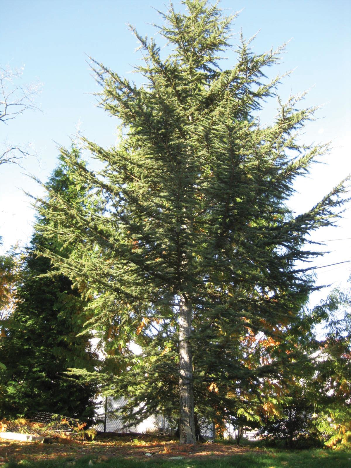 Cedar Of Lebanon Mission Oaks