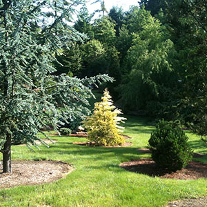 Mision Oaks Gardens Conifer Grove 2.JPG