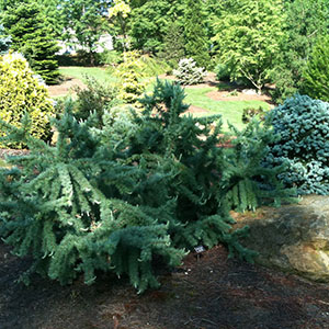 Mision Oaks Gardens Conifer Grove 4.JPG