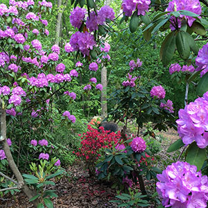 Mission Oaks Gardens Rododendrons 12.JPG