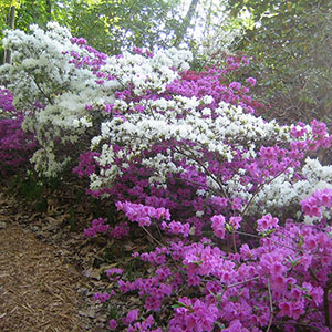 Mission Oaks Gardens Rododendrons 2.JPG