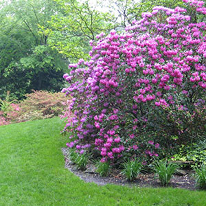 Mission Oaks Gardens Rododendrons 3.JPG