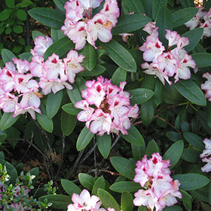 Mission Oaks Gardens Rododendrons 5.JPG
