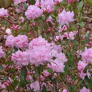 Mission Oaks Gardens Rododendrons 6.JPG