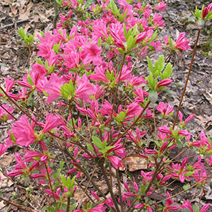 Mission Oaks Gardens Rododendrons 7.JPG